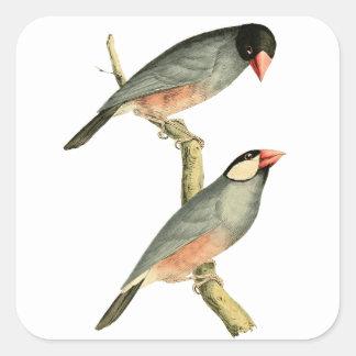 Fringilla oryzivora birds square sticker