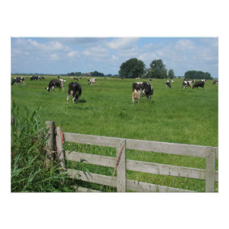 Frisian Holstein Cattle Dairy Cows Photo Poster
