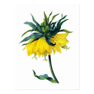 Fritillaire Imperiale ver Jaune By Pierre Joseph R Post Card