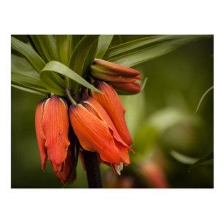 Fritillaria imperialis 'Aurora' Postcard