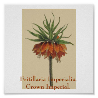 Fritillaria Imperialis. Crown Imperial. Poster