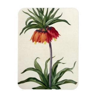 "Fritillaria Imperialis de, ""Les Lilacees"", 1802- Imán"