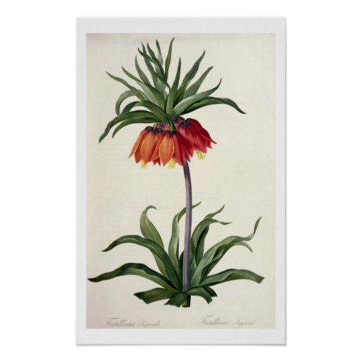 Fritillaria Imperialis from, `Les Lilacees', 1802- Posters