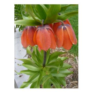 Fritillaria Imperialis Orange Flowers Postcard