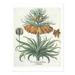 Fritillary: Corona Imperialis florum classe duplic Postcard