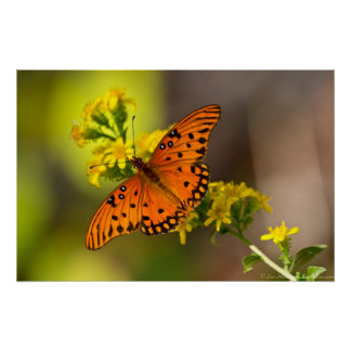 Fritillary Gulf Butterfly Prints Posters