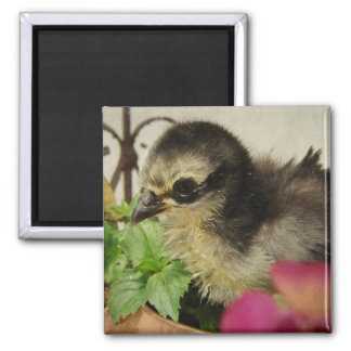 Frizzle Chick in Flowers Magnet