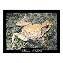 Frog (American Bull Frog) Postcard