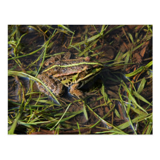 Frog in river postcard
