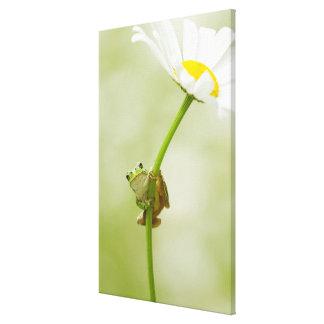Frog On A Daisy Canvas Print