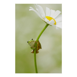 Frog On A Daisy Poster