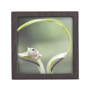 Frog on plant stem, Biei, Hokkaido, Japan Premium Jewelry Boxes