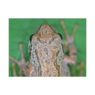 Frog Photo Gallery Wrapped Canvas