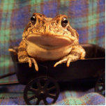Frog Toad in black wagon with plaid background Cut Out