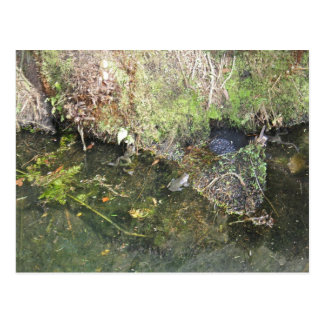 Frogs and Frog Spawn in a Pond Post Card