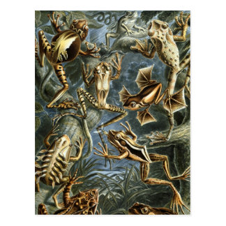 Frogs Postcard