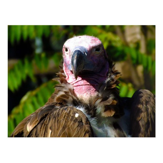 Front Facing Turkey Vulture Closeup Postcard