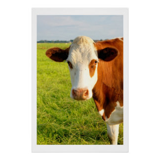 Front view Friesian cow Poster