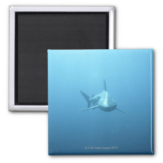 Front view of a Tiger Shark 2 Inch Square Magnet