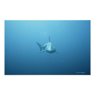Front view of a Tiger Shark Poster