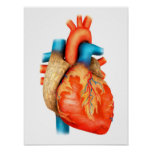 Front View Of Human Heart Poster