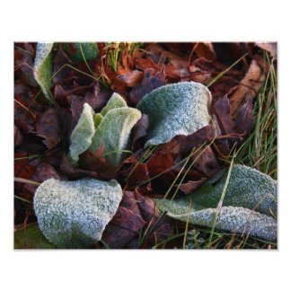 Frost Covered Leaves Photo Print