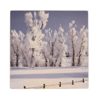 Frost cubrió los árboles y la cerca, Colorado Posavasos De Arce