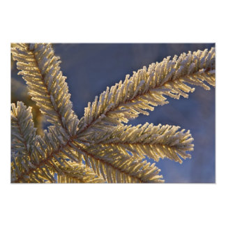 Frost on evergreen tree, Homer, Alaska Art Photo