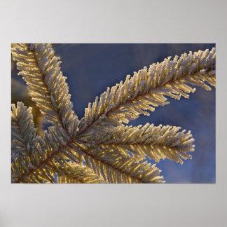 Frost on evergreen tree, Homer, Alaska Poster