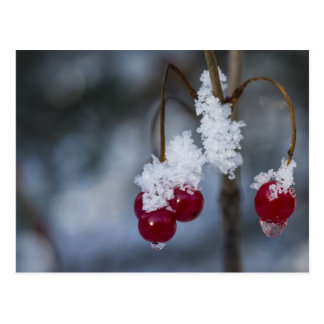 Frosted Berries Postcard