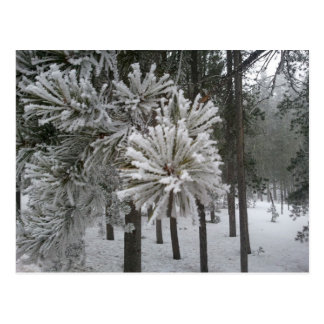 Frosted Pines/Foggy Day~Conifer, CO4 Postcard