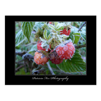 Frosted Raspberries - Postcard