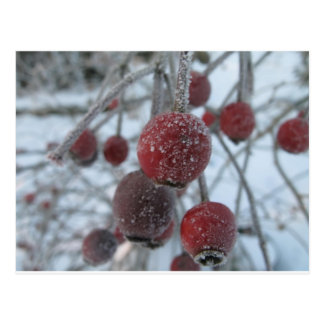 Frosted Rosehips! Postcard
