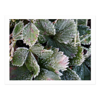 Frosted Strawberry Leaves - Photograph Postcard
