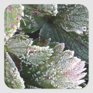Frosted Strawberry Leaves - Photograph Square Sticker