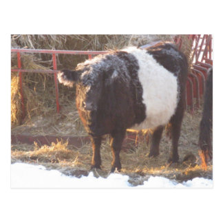 Frosty Belted Galloway Cow Postcard