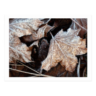 Frosty Maple Leaves, photograph Postcard