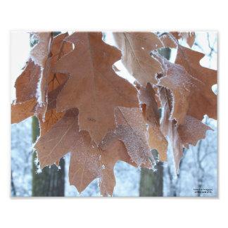 Frosty Oak Leaves Photo Print
