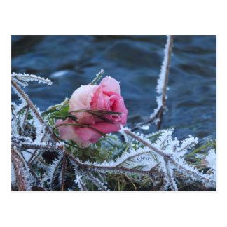 frosty rose postcard