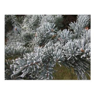 Frosty Spruce Postcard