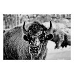 Frosty Yellowstone Bison Posters