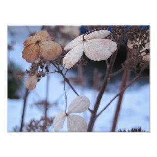 Frozen Lacecaps Photographic Print