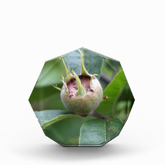 Fruit of the common medlar award