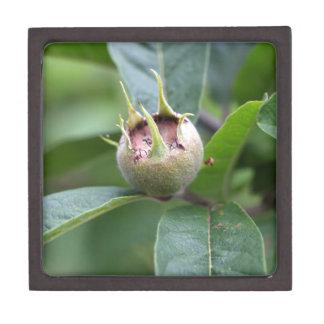 Fruit of the common medlar gift box