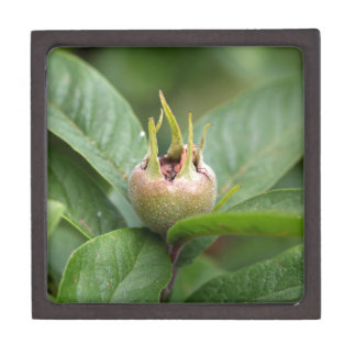 Fruit of the common medlar keepsake box
