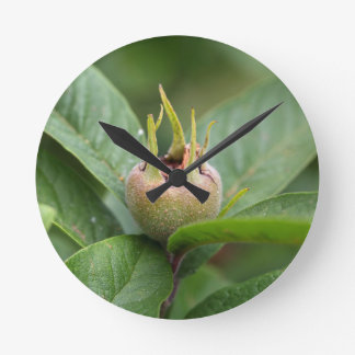 Fruit of the common medlar round clock