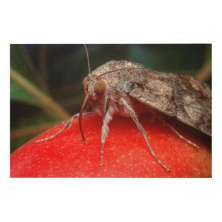 Fruit-Piercing Moth (Calpinae) On Apple. Belgin Wood Print