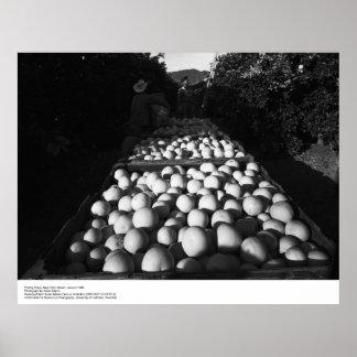 Fruta cítrica de la cosecha, enero de 1956 por Ans Póster