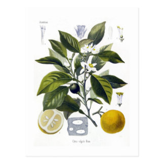 Fruta cítrica vulgaris (naranja) postal