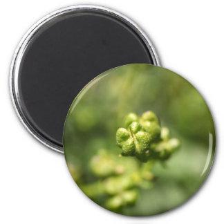 Fruta de una ruda común (graveolens del Ruta) Imán Redondo 5 Cm